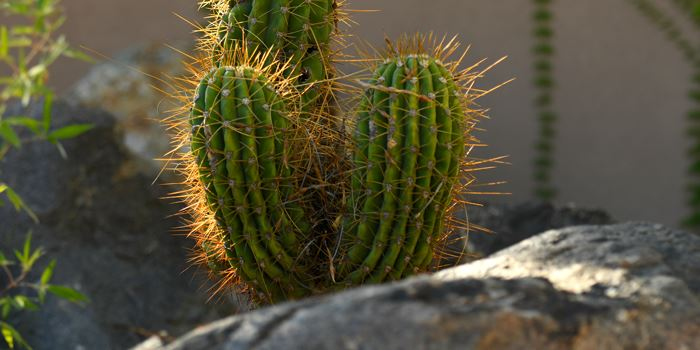 Cactus - Link to Conservation